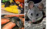 איך להתמודד עם עכברים בארץ ואת האתר