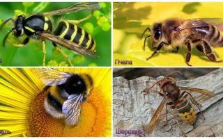 מה שונה על צרעה, דבורה, דבורה, צרעה