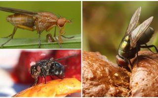 מה זבובים לאכול