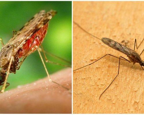 איך נראים יתושים מלריה וכיצד הם מסוכנים לבני אדם