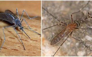 תיאור ותמונות של מינים של יתושים