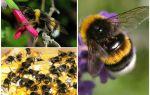 תיאור וצילומים של דבורה של כדור הארץ