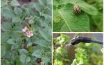 האם זה אפשרי לעבד תפוחי אדמה מן החיפושיות קולורדו במהלך הפריחה
