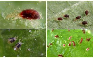 תיאור עכביש תמונה קרדית