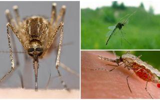איך יתושים לראות מה מושך אותם לבני אדם