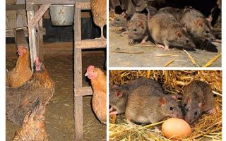 איך להתמודד עם חולדות בבית התרנגולות