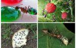 מה נמלים לאכול בטבע
