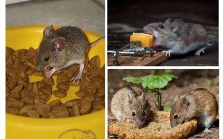 איזה פיתיון לשים מלכודת עכברים