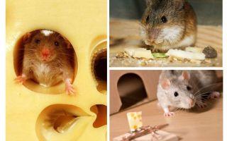 עכברים אוכלים גבינה או לא