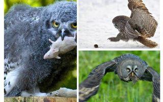 ינשוף אחד הורג על 1000 שדות עכברים במהלך הקיץ