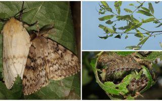תיאור ותצלום של זחל של הצוענים Moth