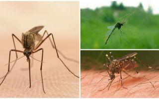 עובדות מעניינות על יתושים