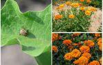 כיצד להגן ולהגן על חצילים מתוך חיפושית תפוחי אדמה קולורדו
