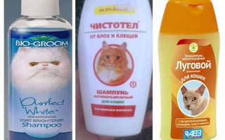 כמה פעמים אתה יכול לשטוף עם שמפו פרעושים