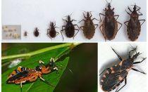 חרק רוצח טריאטומי