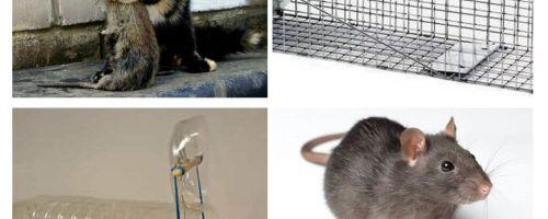 איך להשיג עכברושים מתוך בית פרטי