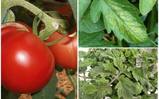 כנימות על עגבניות - מה לעבד וכיצד להילחם