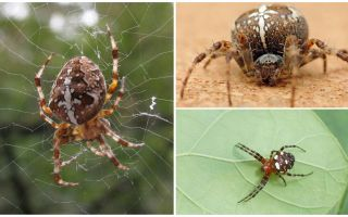 תיאור ותמונות של עכביש צלבני