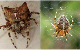 עכביש ריצה: צילום ואפקטים לאחר נשיכה