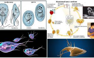 מחזור החיים של ג'יארדיה וטיפול בציסטות
