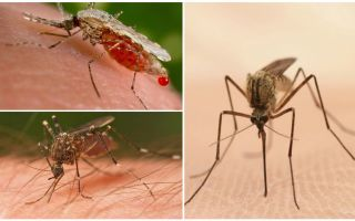כמה יתושים אתה צריך לשתות את כל הדם של אדם?