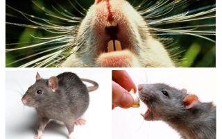 עכברוש צווח