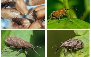 חיפושית זחילה ואת הזחלים שלה