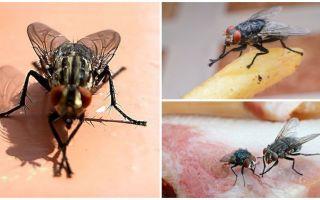 למה זבובים משפשפים את כפותיהם
