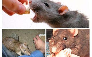 מה לעשות אם קצת עכברוש