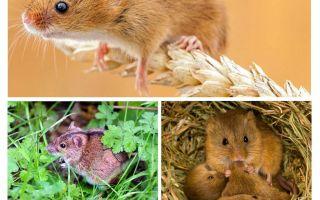 איפה לחיות עכברים