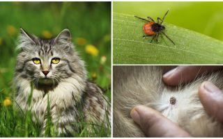 מה לעשות וכיצד לטפל בתרסיס חתול או חתול