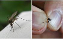 איך לגדל וכמה יתושים לחיות