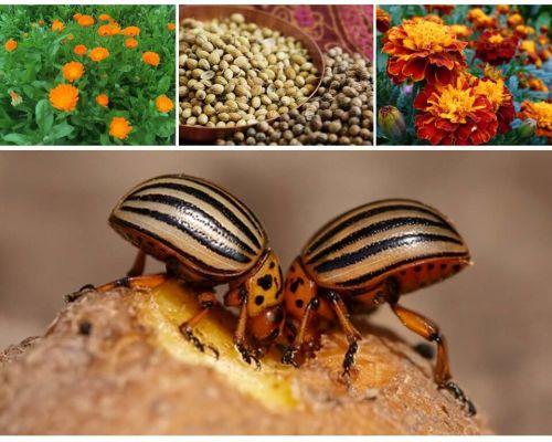 תרופות עממיות עבור חיפושית תפוחי אדמה קולורדו על תפוחי אדמה
