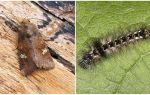 תיאור ותמונה של פרפרים זחלים scoops איך להילחם