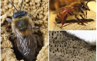 כיצד להסיר דבורים כדור הארץ מהאתר