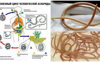 תסמינים וטיפול באסקריזיס אצל מבוגרים