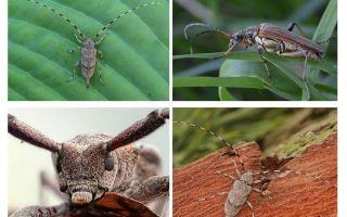 חיפושית ברבל אפור ארוך