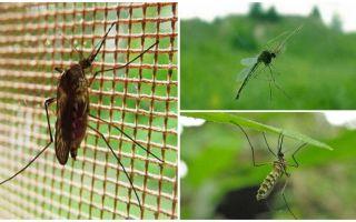 כמה יתושים זבובים גבוה לעוף