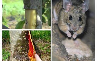 כיצד לשמור את עץ התפוח, אם הקליפה נבלע עכברים