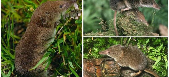איך להיפטר shrews באזור, הדרך היעילה ביותר