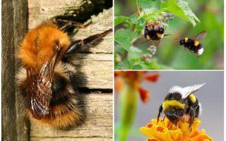 כיצד להסיר דבורי בומבוס מהבית