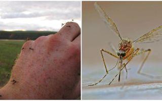 שבו מדינות וערים אין יתושים