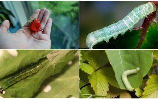כיצד להיפטר זחלים על תותים