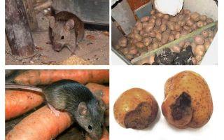 כיצד להסיר עכברים מן המרתף