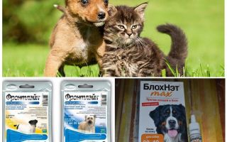 כיצד וכיצד להגן על כלב מפני יתושים ו blackflies