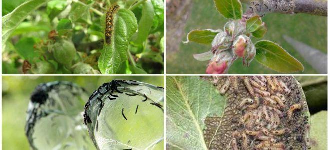 כיצד להיפטר זחלים על עץ תפוח