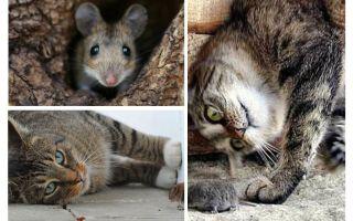האם חתולים וחתולים אוכלים עכברים?