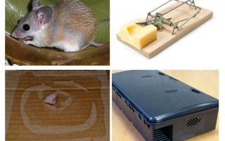 כיצד להסיר עכברים מבית פרטי