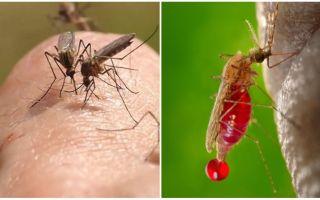 כמה פעמים יכול עקיצת יתוש