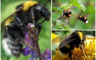 תיאור וצילומים של דבורת הבומבוס בגינה